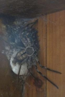 OH HELL NO!. ......GET THE GUN!  WTF IS THAT?! Forget the gun! Get THE FRICKING BAZOOKAS!! GO! GO! GO!: Bacon Spiders, Mother, I M, Absolutely Nope, Hate Spiders, Big Spiders, Bedroom, Big Juicy