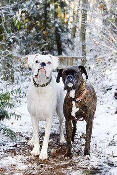 Oh my heavens!  Characteristic is so TRUE of Boxers.  They are pure lovers and companions!: Bodyguards Boxer, Animals, Boxer Dogs, Sweet, Pet, Boxers, Baby, Kids, Friend