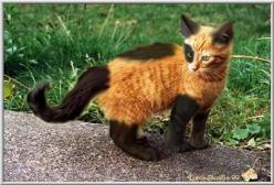 Orange black kitten: Kitty Cats, Animals, Orange Black, Color, Kitty Kitty, Chat, Amazing Markings