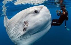 Photojournalist Daniel Botelho snapped this stunning shot of a Mola Mola more than two years ago, but it wasn't widely seen until this year, when he posted it on Facebook.: Ocean Sunfish, Mola Mola, Animals, Sea Life, Sea Creatures, Daniel Botelho, Su