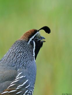Quail Calling  Garin Regional Park, Hayward, California by Jerry Ting on flickr: Birds Birds, Backbone Angry Birds Board, Birds Real, Animals Birds, Animal Birds Quail, Quail Calling, Beautiful Birds Creation
