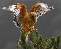 Red Shouldered Hawk. By Cary Maures: Animals, Hawks, Owl, Prey, Beautiful Birds, Red Shouldered Hawk, Photo