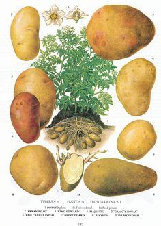 #retroscan vintage botanical print potatoes