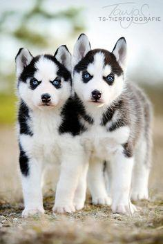 Siberian Husky Puppy....so cute to look at until they eat your stuff and pee on the floor :): Animals, Dogs, Pet, Siberian Husky Puppies, Puppys, Siberian Huskies, Huskies Puppies, Eye