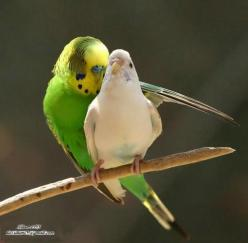 Super parakeet!          ______       /             \       \    SP     /         \_____/: Photos, Picture, Animals, Parakeets, Nature, Budgies, Beautiful Birds