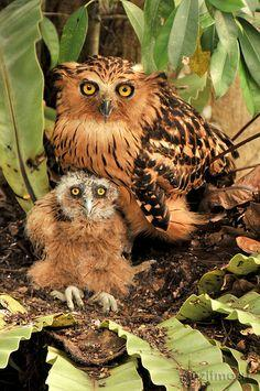 The Buffy Fish Owl (Bubo ketupu), also known as the Malay Fish Owl, is a species of owl in the Strigidae family. It was previously placed in Ketupa with the other fish owls, but that group is tentatively included with the eagle-owls in Bubo, until the aff