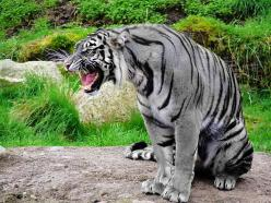 The Maltese Tiger aka the Blue Tiger, thought to be extinct.: Animals, Big Cats, Maltese Tiger, Creature, Bigcats, Wild Cats, Blue Tigers, Maltesetiger