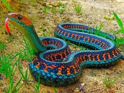 The Most Colorful Snake: California Red Sided Garter Snake: Animals, Nature, Color, California Red Sided, Red Sided Garter, Snakes