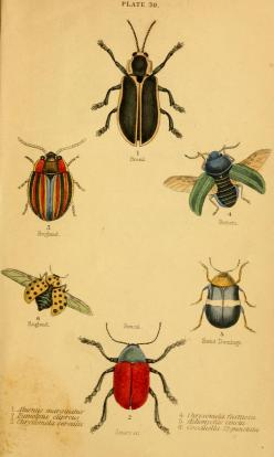 The natural history of beetles : - Biodiversity Heritage Library: Scientific Illustration, Biodiversity Heritage, Heritage Library, Natural History, Nature Illustration, Botanical, Beetles, Animal