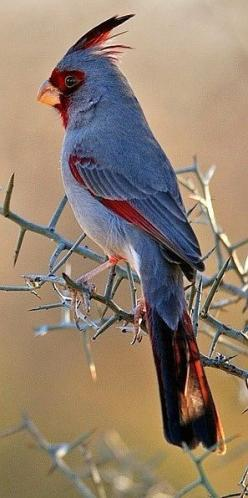 The Pyrrhuloxia or Desert Cardinal (Cardinalis sinuatus) by robbobert is a medium-sized North American song bird found in the American southwest and northern Mexico.: Beautiful Birds, Deserts, Cardinals, Animal