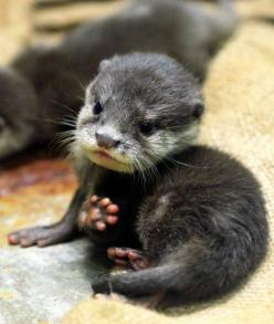 The smallest of all the otter species, the Asian Small-Clawed Otter weighs less than 50 grams at birth. They're also born toothless, blind and nearly immobile, making them completely dependent on their mothers.: Asian Small Clawed, Baby Otters, Cute Baby
