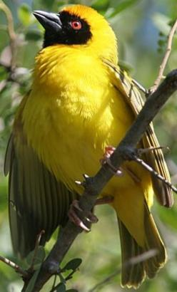 The Southern Masked Weaver or African Masked Weaver (Ploceus velatus) is a resident breeding bird species common throughout southern Africa.    This weaver is very widespread and found in a wide range of habitats, including shrubland, savanna, grassland,