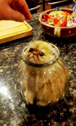 This cat who thought the glass jar was a good place to hide: | 19 Cats Who Made Very Poor Life Choices: Cats, Funny Animals, Poor Life, Funny Cat, Life Choices, Dr. Who, Place