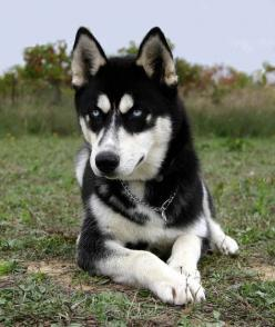 This is how I think my Nali will look when she is full-grown..except with brown eyes!: Adorable Dogs, Animals, Siberian Husky, Siberian Huskies, Adorable Huskys, Beautiful Dogs, Big Dogs, Black Huskies