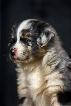 This puppy is so cute! I Want an Australian Shepard sooo bad!!: Cute Animal, Aussies, Photo Sharing, Dogs Puppies, Pet Photo, Aussie Puppies, Animals Pictures, Top