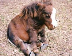 Thumbelina, the world's smallest horse The height of this dwarf horse is only 17 inches.: Pony, Horses, Ponies, Adorable, Baby Animals, Things
