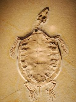 Turtle fossil ~K~ Still a TURTLE ! Not a part turtle/part bird, or part lizard, or part frog !: Fascinating Fossils, Awesome Fossils, Turtle Eurysternum, Fossils Fosiles, Rocks Minerals Fossils, Fossilized Turtle, Turtle Fossil, Sea Turtles, Extinct Sea