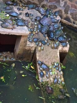 Turtles... so many turtles!: Turtles Actually, Turtles Cuteness, Turtles Lots, Turtles Tortoises Tmnt, Turtles 3, Turtles Basking