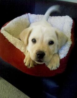 Up and ready to play: Cuteness, Puppies, Dogs, Adorable Animals, Pet, Yellow Labs, Puppy, Baby