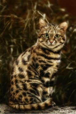 What a beauty! Black-footed cat (Felis nigripes), the smallest African cat: Wild Cat, African Cat, Kitty Cat, Beautiful Cats, Bengal Cat, Kitty Kitty, Animal
