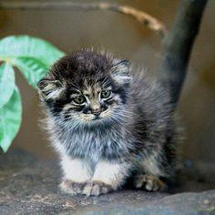 What an awesome wild cat – a baby Pallas's cat. Such a beauty. Not much bigger than our domestic cats – and is now endangered and super rare.: Pallas Cat, Big Cats, Animals, Baby, Kittens, Wild Cats, Pallas'S Cat, Pallas Kitten