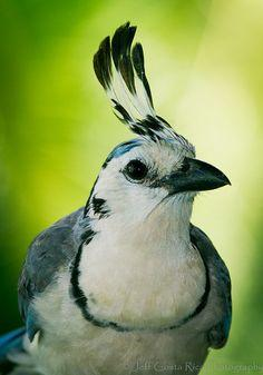 White Throated - Magpie