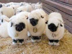 Yes, these are real sheep.  They are called Valais black-faced sheep.  So cute!: Black Nosed, Real Sheep, Animals, Valais Black Faced, Valais Blacknose, Lamb, Black Faced Sheep, Valais Sheep, Blacknose Sheep