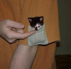 10 Pets in Pockets: Cats, Pets, Funny, Crazy Cat, Pockets, Pocket Kitten, Kittens, Baby Animals, Pocket Kitty