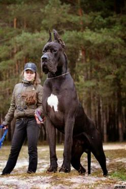 5 Dogs even bigger than their owners: Great Danes, Animals, Pets, Puppy, Big Dogs, Bigdog, Friend