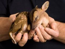 A little  Pudu Fawn. they get little horns and have scent glands on their heads when they get older, and I hear they love being petted when they get older + love rubbing the scent on you too, lol One way or the other they are a cute animal.: Babies, Baby