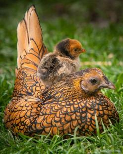 A Sebright chicken! All Sebrights have plumage that is laced around the edges evenly with black, on a base of either dark gold or whitish silver.: Farm, Baby Chick, Animals, Mother, Hens, Birds