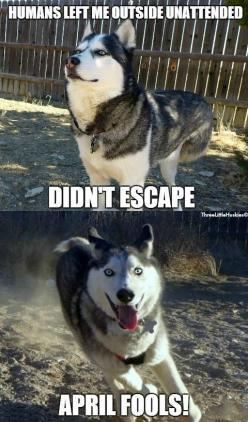 April Fools Siberian Husky Style. (We're thankful for Invisible Fence! No more chasing our two huskies all around the neighborhood!): Animals, Adorbs Huskies, Siberian Huskies, Siberian Husky Humor, Fools 2014, Husky Style This, Fools Siberian, April