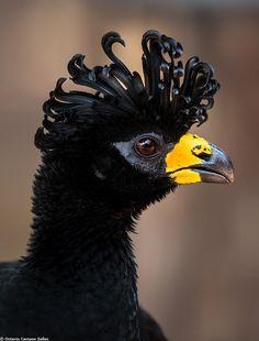 Bare-faced Curassow (Crax fasciolata) by Octavio Campos Salles.  A male pictured in the Pantanal wetlands of Brazil, where they are fairly common.  Has naturally curly hair.: Animals, Bare Faced Curassow, Creatures, Beautiful Birds