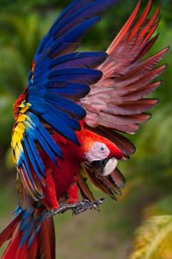 Beautiful animal to get a tat idea from. Very versatile when it comes to position, colour, and and spot!: Beautiful Macaw, Flight, Animals, Scarlet Macaw, Poultry, Color, Birds Parrots, Beautiful Birds