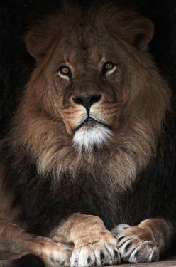 Beautiful Lion - Awesome Photo: Flickr, Animals, Big Cats, Artis Img 0039, Photo Sharing, Creatures, Caesar Artis, Lion King, Lions