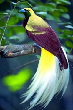 Bird of Paradise: Lesser Bird, Animals, Color, Beautiful Birds, Bird Of Paradise, Beautifulbirds, Ave