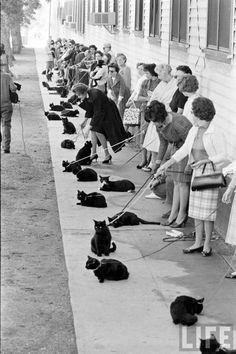 Black cat auditions in Hollywood, 1961 - priceless!: Photos, Animals, Black Cats, Crazy Cat, Photography, Cat Lady