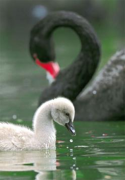 Black Swan and cygnet taken at Wuling Farm, Taiwan: Animals, Poultry, Beautiful Birds, Feathers, Baby Swan, Photo, John Fish