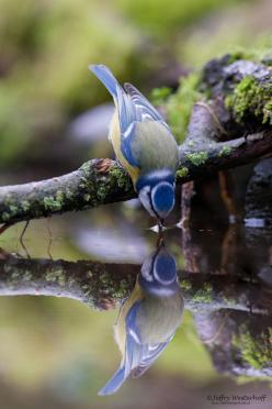 Blue tit in water reflection: Water Reflections, Animals, Bluet, Nature, Beautiful Birds, Blue Jay, Photo, Blue Tit