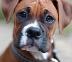 Boxers things-i-love: Face, Animals, Boxer Dogs, Boxer Puppies, Pets, Boxer Love, Boxers, Friend