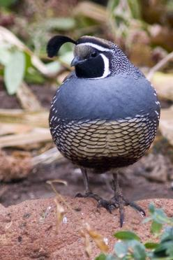 California Quail 1 by eaross.deviantart.com on @deviantART: Quail Tattoo, Quail Birds, Beauteous Birds, Birds Ducks Chickens, Backyard Birds, Beautiful Birds, Animal