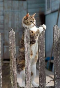 cat at the fence: Kitty Cats, Animals, Pets, Kitty Kitty, Chat, Kittens, Feline, Dog