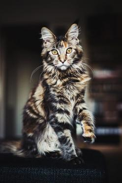 cat - Mutza look alike: Kitty Cat, Animals, Beautiful Cats, Maine Coon, Pet, Kitty Kitty, Feline, Coon Cat, Mainecoon