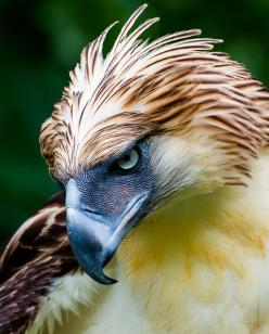 Dinosaurs and Friends: Eagle Animals, Birds Eagles, Raptor, Philippines Eagle, Animals Birds, Photo, Philippine Eagle, Predatory Birds