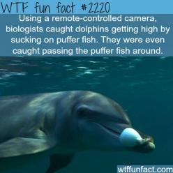 Dolphins getting high - WTF fun facts- Ohhh~~ Dolphins: Puffer Fish, Wtf Fun Fact, Wtf Facts, Funny Fun Fact, Dolphins, Weird Facts, Fun Facts, Funfacts, Random Facts