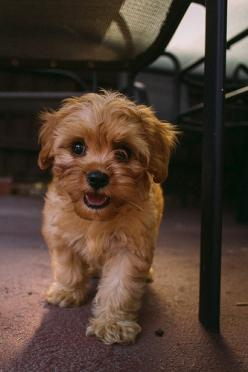 Finally found a puppy that looks like my COOKIE wookie. Love my mix yorkie.: Cavoodle, Anime Animals, Animals Dogs, Puppys, Cute Animals, Box, Cats And Dogs