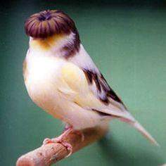 Gloster Canary, where's Larry & Curly hahahahahahah: Animals, Where S Larry, Bowl Haircuts, Birdie, Hair Style, Gloster Canary, Larry Curly, Beautiful Birds