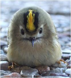 Golden-crowned Kinglet ♥ ♥: Animals, Golden Crowed Kinglet, Birdie, Beautiful Birds, Baby