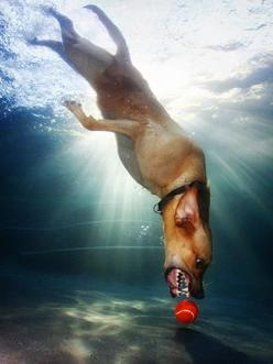 Have you seen these Dogs Underwater photos by Seth Casteel? I love them! Go to the link and check them out. They're captivating.: Photos, Animals, Pets, Funny, Underwater Dogs, Seth Casteel, Friend, Photography, Underwaterdogs
