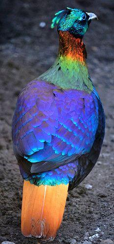 Himalayan Monal - goodness, why have I never heard of this bird before? It's gorgeous!: Colorful Birds, Monal Bird, Birds Butterflies, Himalayan Monal, Beautiful Birds, Animals Birds, Monal Lophophorus